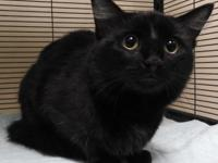 Conrad is a domestic medium hair male cat,  black and