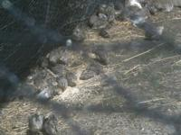 we have conturnix quail for sale prepared to go train