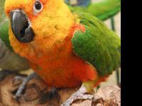 Conure - Bird - Medium - Adult - Male - Bird Sex: M (?)
