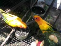 Conure - Sony - Small - Adult - Male - Bird Sony is a