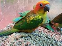 We have sun conures, cherry heads, Pineapple Green