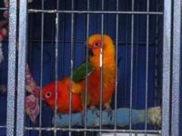 Jenday Conure 5-year-old female Patches Sun Conure