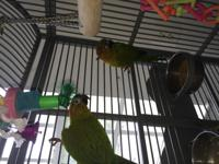 Cookie & CeeCee are a bonded pair of Hybrid Conures.