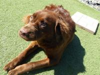 Cookie is a 1-year-old neutered male chocolate lab.