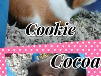 Cookie and Coco are a bonded pair of MALE guineapigs