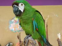 Cookie is a Severe Macaw. Cookie loves to fly around
