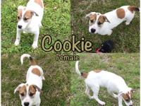 Adorable Cookie is a 12-week-old terrier mix girl who