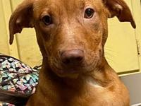 My story I am possibly a Vizsla/Lab mix female. I am