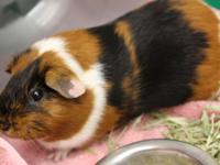 Cookie and 2 other guinea pigs were brought to the