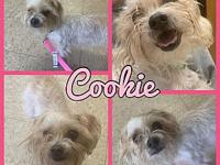 My story Cookie is a 3 year old maltipoo, utd on shots,