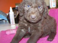 2nd generation CHOCOLATE with green eyes Labradoodle