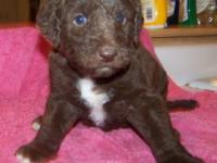 Second generation CHOCOLATE with green eyes Labradoodle