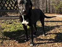 Coolie's story Coolie is a spayed female Labrador