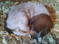 DOB: Sept 29, 2015 Pups are blue tick/black and tan/red