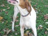 Coonhound - Albany - Small - Young - Male - Dog Albany