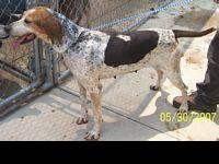 Coonhound - Barney - Large - Adult - Male - Dog Barney: