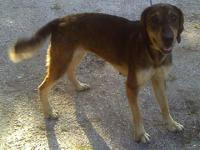 Coonhound - Barney - Medium - Adult - Male - Dog Barney