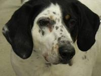 Coonhound - Bella - Large - Adult - Female - Dog When