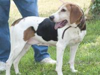Coonhound - Beth - Large - Adult - Female - Dog Beth