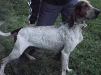Coonhound - Birdy - Large - Young - Female - Dog Birdy