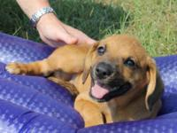 Coonhound - Bonnie - Large - Baby - Female - Dog The