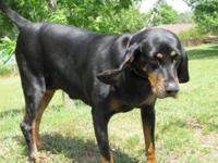 Coonhound - Cammie - Large - Adult - Female - Dog