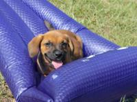 Coonhound - Clyde - Large - Baby - Male - Dog The