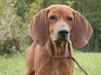 Coonhound - Colton - Medium - Adult - Male - Dog