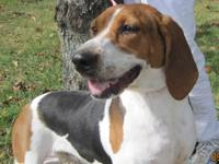 Coonhound - Dee Dee (delilah) - Medium - Young - Female