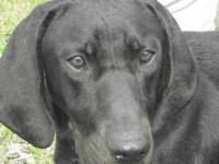 Coonhound - Delta Dawn - Medium - Young - Female - Dog