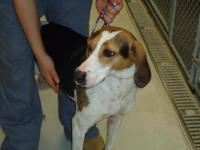 Coonhound - Elaine - Large - Adult - Female - Dog Sweet