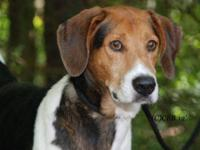 Coonhound - George - Friendly And Affectionate - Medium