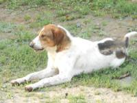 Coonhound - Hannah - Large - Young - Female - Dog