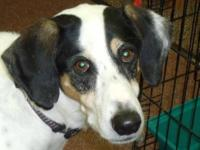 Coonhound - Harvey - Large - Senior - Male - Dog Harvey