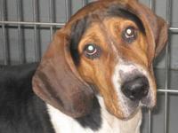 Coonhound - Harvey - Large - Senior - Male - Dog Harvey