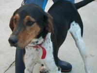 Coonhound - Helen - Large - Adult - Female - Dog Helen
