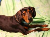 Coonhound - Jeb - Large - Young - Male - Dog Jeb is a