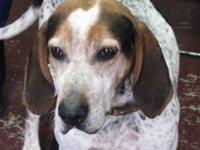 Coonhound - Kirby - Large - Adult - Male - Dog Meet