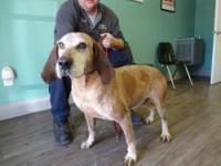 Coonhound - Mango - Large - Adult - Male - Dog Mango is