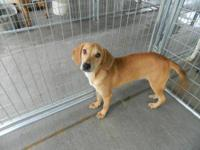 Coonhound - Manni - Medium - Young - Male - Dog Manni