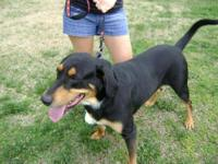 Coonhound - Max - Extra Large - Adult - Male - Dog Max