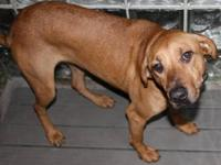 Coonhound - Molly Ii - Large - Young - Female - Dog