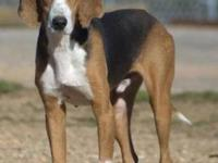 Coonhound - Mortimore - Large - Adult - Male - Dog