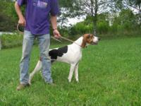Coonhound - Nicholas - Large - Adult - Male - Dog