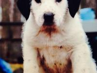 SIMPLY 3 left - female Coonhound/Old English Sheepdog