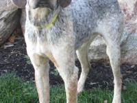 Coonhound - Pike - Medium - Adult - Male - Dog Pike is