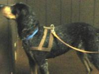 Coonhound - Quizzy - Medium - Adult - Female - Dog