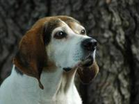 Coonhound - Stella Mae - Large - Adult - Female - Dog