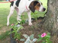 Coonhound - Xena - Large - Young - Female - Dog Xena is