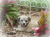 Cooper is an adorable CKC registered Shih-Apso puppy